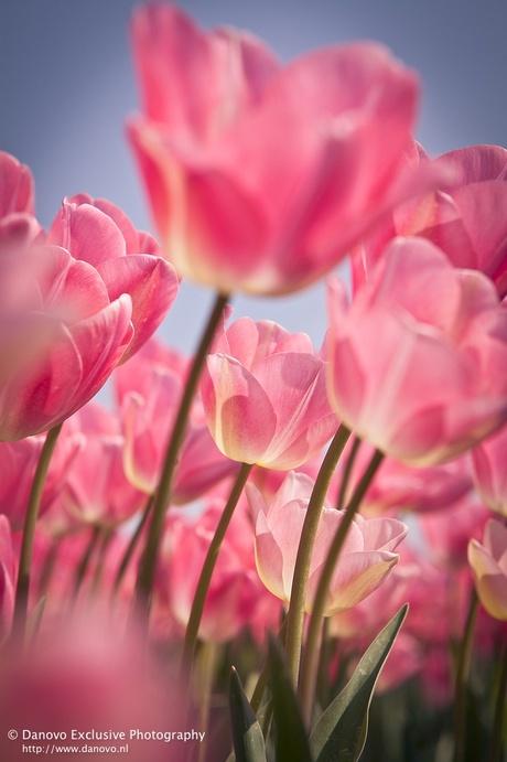 Tulpenfestival