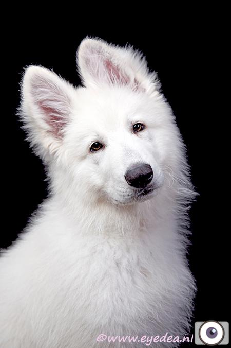 Akino - Een 12 weken jonge Witte herder reu - foto door Anita Eye Dea op 29-04-2011 - deze foto bevat: wit, zwart, huisdier, hond, puppy, pup, puppie, anita, huisdierenfotografie, witte herder, eye dea