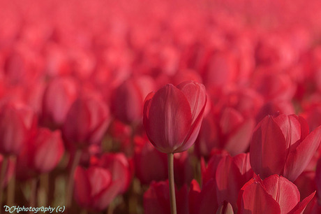 Tulips from Holland 2