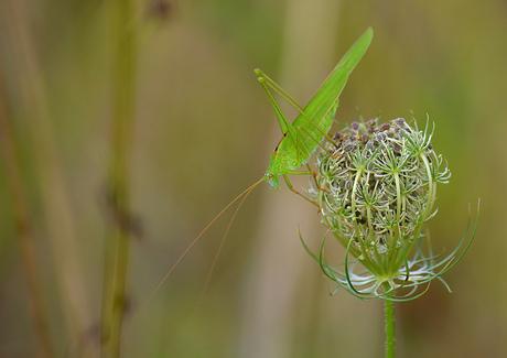 Phaneroptera Falcata.