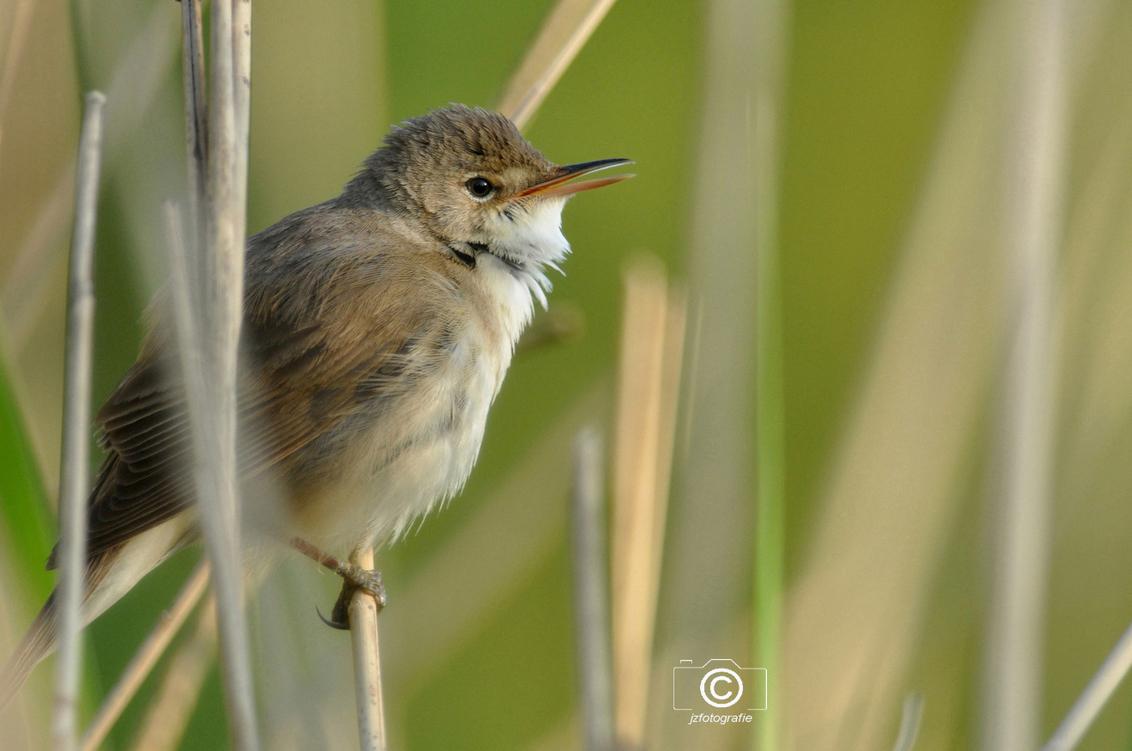 Rietzanger of Karekiet ? - Deze opname van het rietzangertje komt uit mijn archief ,  is volgens mij nog wel de moeite waard om te plaatsen.  * ( of is het misschien toch ee - foto door jzfotografie op 19-03-2021 - deze foto bevat: natuur, klein, vogel, voorjaar, zingen, nederland, mooi, wildlife, achtergrond, snavel, sony, rietzanger, naam, twijfel, hoogste, rietstengels, lied, kleine karekiet, Noord Holland