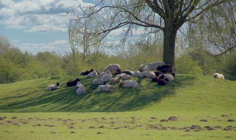 Groepje schapen.