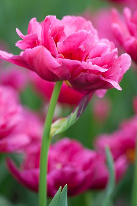 Tulp hard rose!