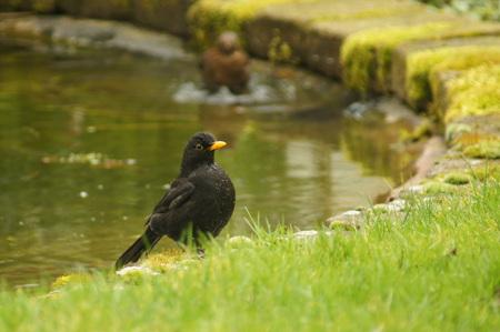 Lkr schoon - Deze merel had net een heerlijk bad genomen - foto door Krulkoos op 27-02-2014 - deze foto bevat: merel, vogel, spetter, spetteren, baderen