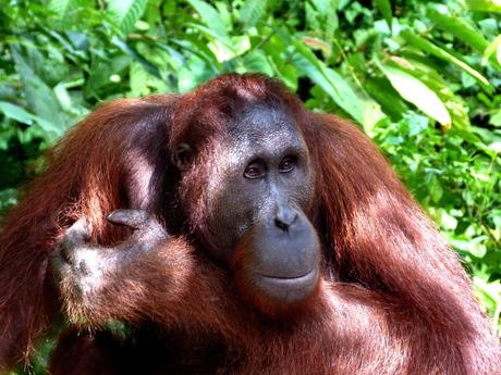 Orang Oetan op Borneo