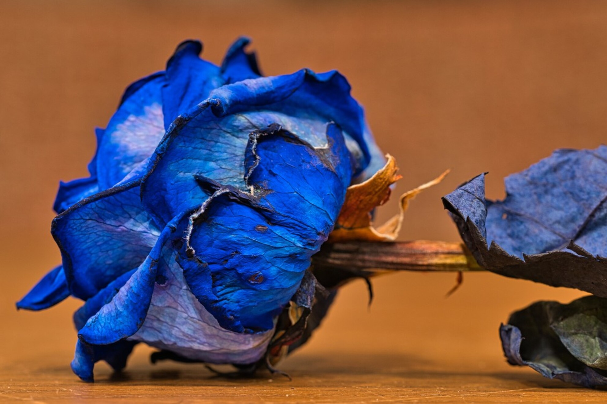 Roos - - - foto door PaulvanVliet op 17-02-2021 - deze foto bevat: macro, blauw, bloem, natuur, bruin, roos, licht, oranje, kleurrijk, bokeh - Deze foto mag gebruikt worden in een Zoom.nl publicatie