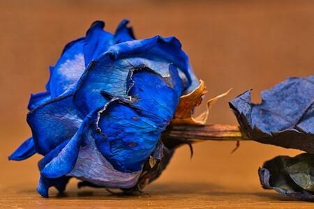 Roos - - - foto door PaulvanVliet op 17-02-2021 - deze foto bevat: macro, blauw, bloem, natuur, bruin, roos, licht, oranje, kleurrijk, bokeh