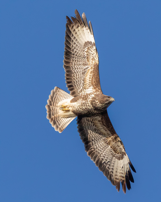 Buizerd in vlucht - - - foto door cappe145 op 08-03-2021 - deze foto bevat: natuur, buizerd, roofvogel
