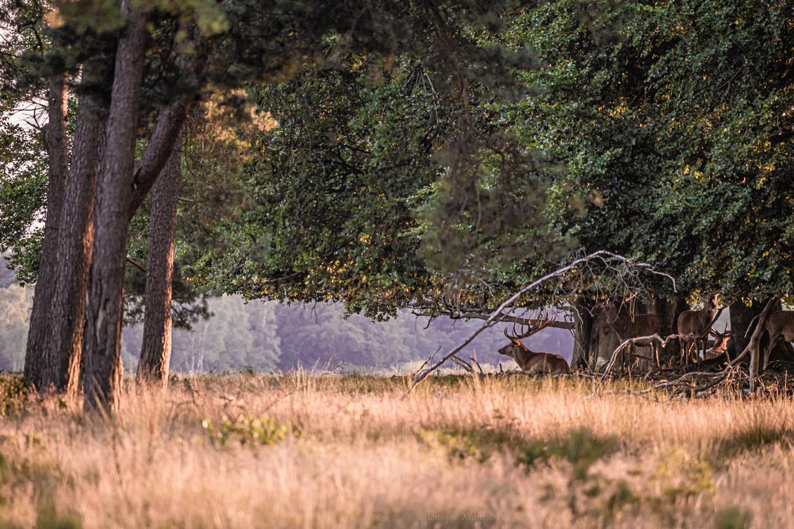De Hoge Veluwe - - - foto door Monique49 op 01-08-2020 - deze foto bevat: zon, boom, natuur, licht, dieren, bos, edelhert, zomer, hert, nederland