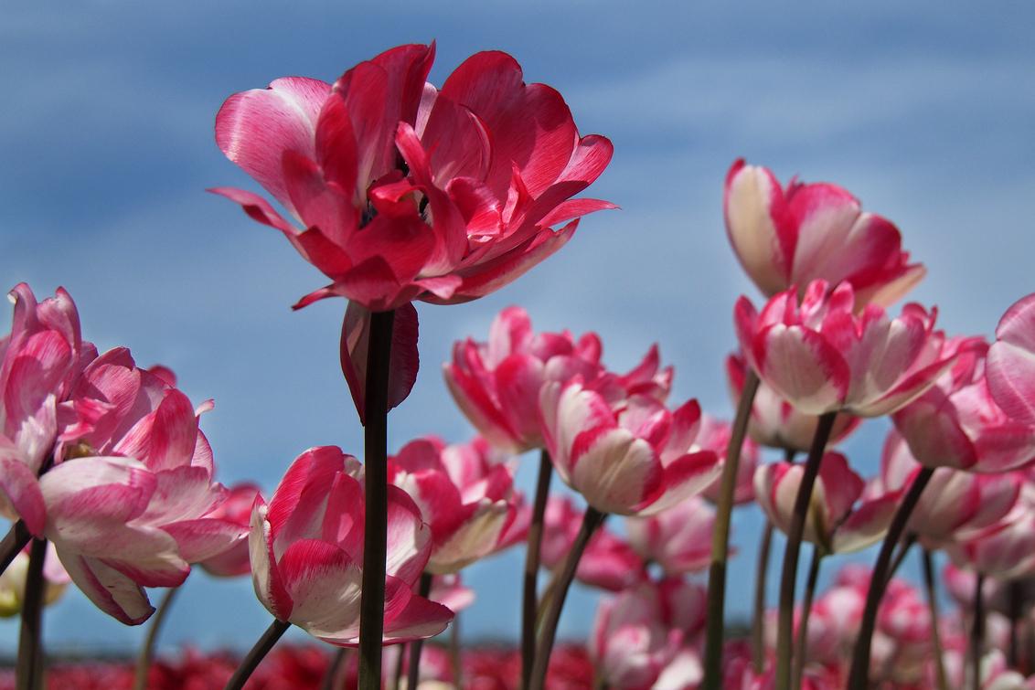 tulpen - Vandaag moest ik zakelijk in A'dam zijn en had nog even tijd om door te rijden naar de bollenvelden. Het was er prachtig weer voor en de tulpen stond - foto door Lathyrus op 04-05-2015 - deze foto bevat: natuur, tulp, bollenveld, lisse