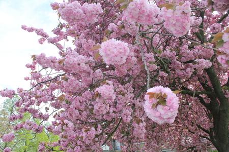 bloesem - bloesem - foto door Robertus_zoom op 16-04-2021 - locatie: Zoetermeer, Nederland - deze foto bevat: bloem, wolk, lucht, bloemblaadje, plantkunde, afdeling, takje, roze, houtachtige plant, bloeiende plant