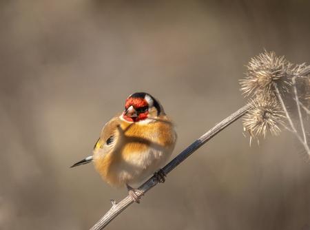 Putter - Vorige opname van putter was tussen begroeiing door gemaakt. Deze keer kwam het zonnetje af en toe tevoorschijn en kwamen ze genieten van een beetje  - foto door franspelzer op 23-03-2021 - deze foto bevat: kleur, natuur, winter, dieren, vogel, putter, franspelzer