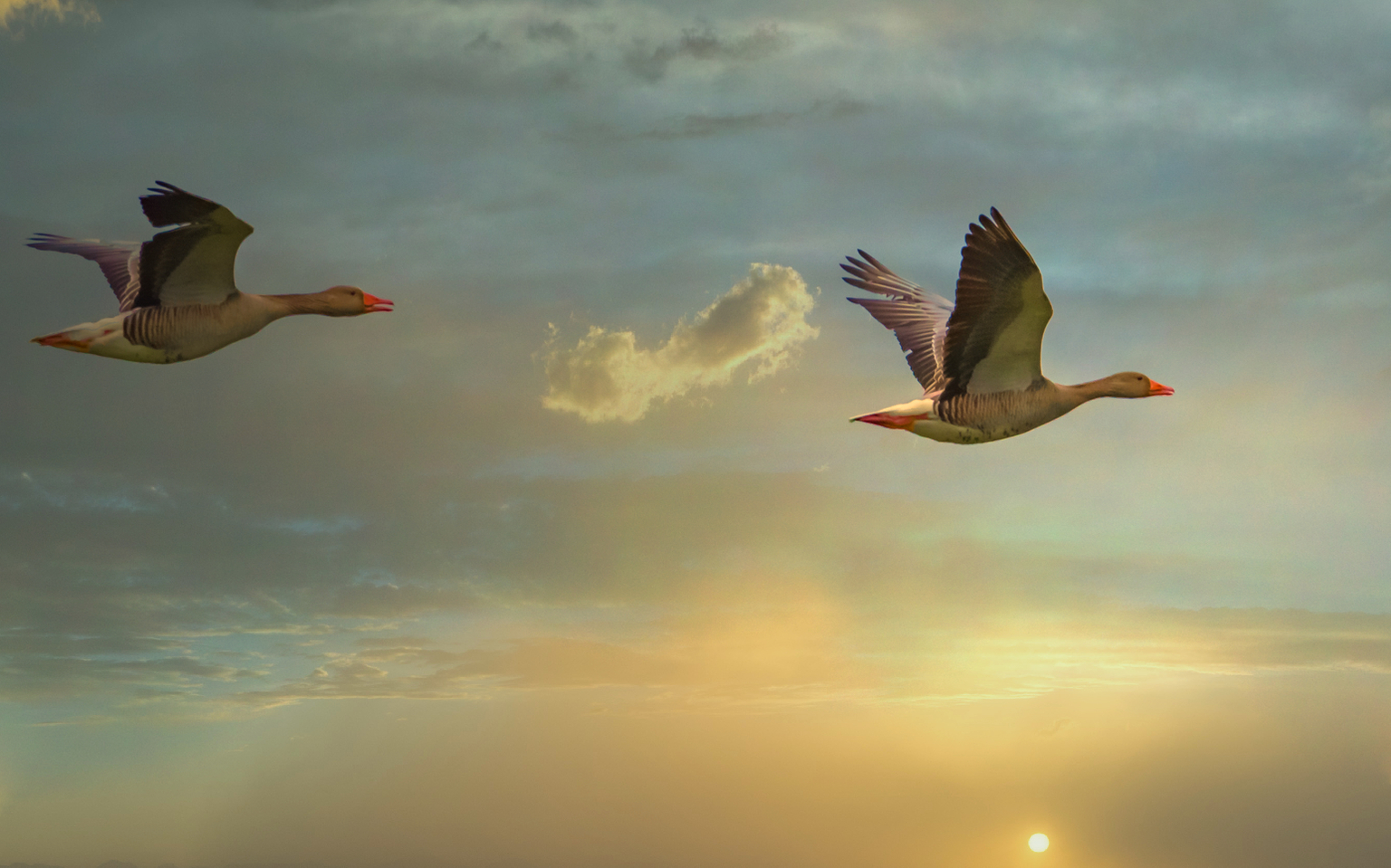 Flying high in the sky. - Vliegende grauwe ganzen in ochtendlicht. - foto door Kompieter op 11-04-2021 - locatie: Oirschot, Nederland - deze foto bevat: wolk, lucht, vogel, atmosfeer, ecoregio, natuur, bek, lichaam van water, veer, water