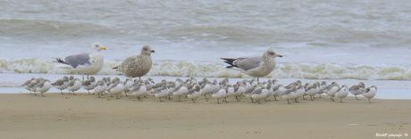 drieteenstrandlopers op het egmondse strand