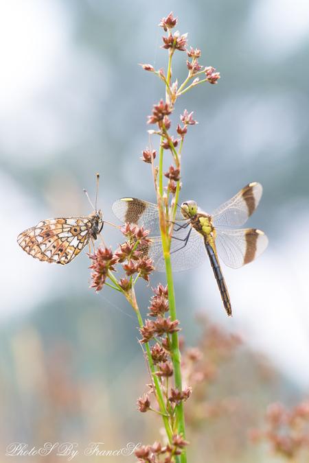 Ontmoetingen - Het zit niet echt mee met deze temperaturen, daarom eentje uit mijn archief. Terwijl ik de zilveren maan aan het fotograferen was zag ik door de zoek - foto door Francis-Dost op 23-07-2018 - deze foto bevat: macro, bloem, natuur, vlinder, libel, zomer, insect, dauw, dof