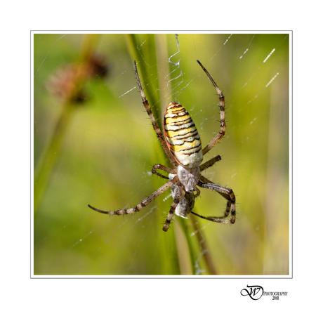 Argiope bruennichi (wasp spider)