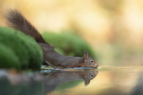 zwemmende eekhoorn
