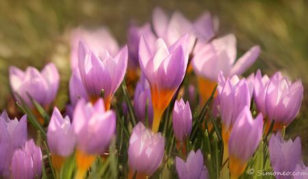 Teer en toch uitbundig - Vanmiddag, heel even maar, was het lente. Even genieten van de zon. De krokussen in de voortuin vouwden voor het eerst hun bloemblaadjes open als war - foto door simoneo_zoom op 31-01-2014 - deze foto bevat: bloem, krokus, voorjaar, lente;lila
