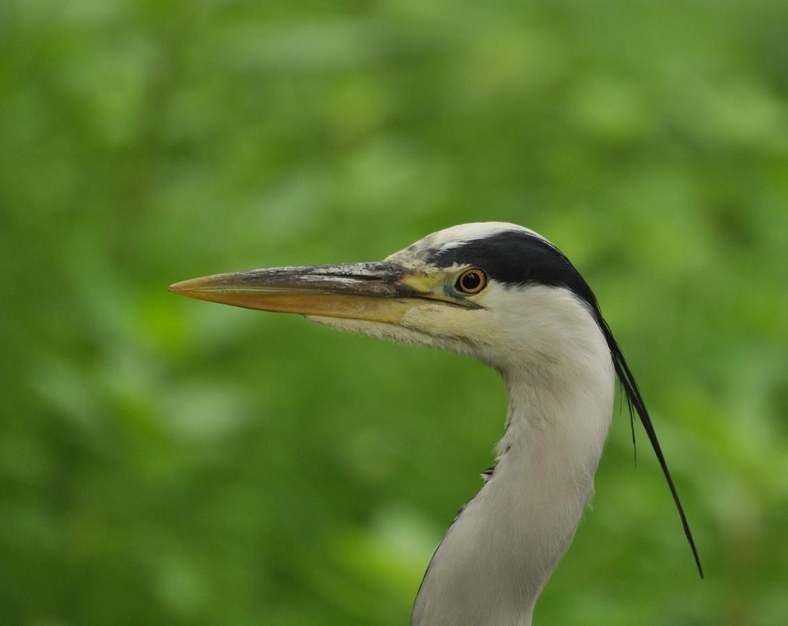 het is niet vaak... - dat je een portretje kunt maken van een reiger ik zat op nog geen drie meter  dank voor alle reacties en favo's - foto door zimmo op 04-06-2018 - deze foto bevat: natuur, dieren, vogel, reiger, watervogel, Blauwe reiger, zimmo
