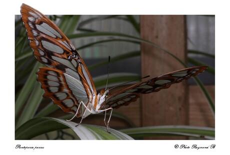 Pantoporia perius