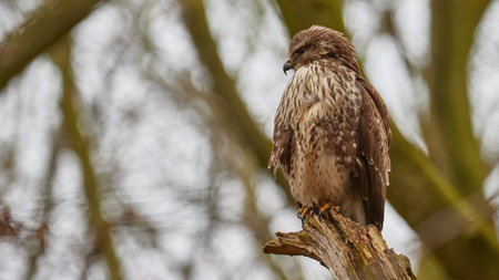 Looking... - De buizerd rustend op een boomstronk. - foto door Christiaan_zoom op 31-01-2021 - deze foto bevat: boom, winter, veren, vogel, bos, buizerd, roofvogel, boomstronk, nagels, snavel, bek, klauwen