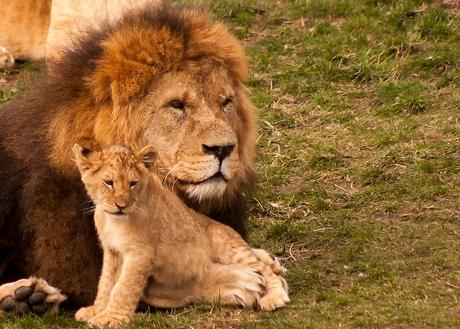 pappa leeuw met dochter