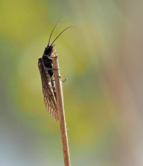 Elzenvliegen