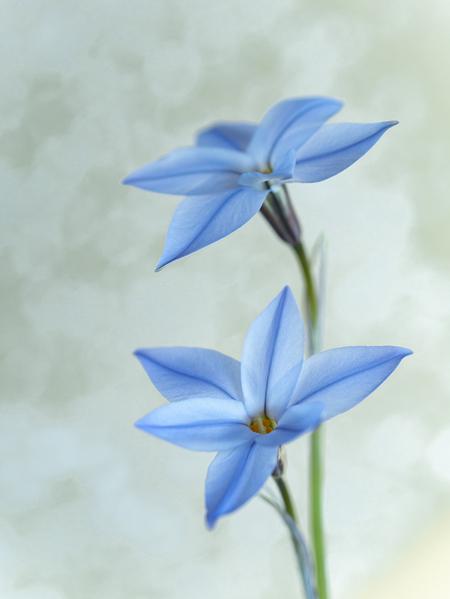 Voorjaarsster - Uit eigen tuin. - foto door Olga-schraven op 15-04-2021 - locatie: Vianen, Nederland - deze foto bevat: macro, voorjaarsster, voorjaarsbloeier, foto van de dag, lente, bloem, fabriek, bloemblaadje, terrestrische plant, kruidachtige plant, bloeiende plant, elektrisch blauw, pedicel, automotive wielsysteem, wildflower