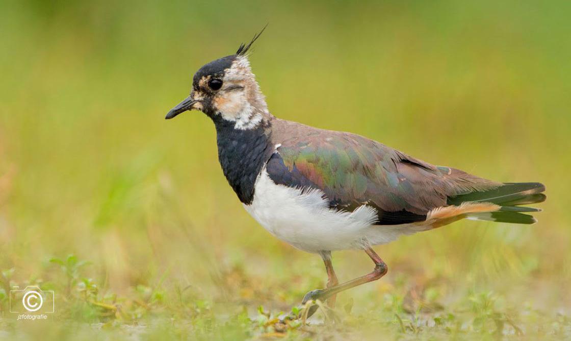Parmantig - Een loopt kievit parmantig langs de waterkant. Deze opname is gemaakt in het natuurgebied tussen Heemskerk en Castricum.  Zoomers bedankt voor de  - foto door jzfotografie op 19-07-2020 - deze foto bevat: groen, kleuren, wit, natuur, waterkant, vogel, landschap, oog, voorjaar, nederland, polder, kievit, sony, pootjes, dof, kuif, weidevogel, heemskerk, verenkleed