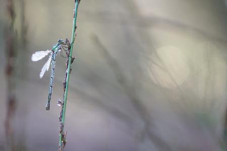 Pantserjuffer - Op zoek naar juffers en libellen op deze mooie ochtend. Met name veel pantserjuffers waren er nog te vinden. - foto door Paul1973_zoom op 16-09-2016 - deze foto bevat: macro, juffer, natuur, licht, dauw, bokeh
