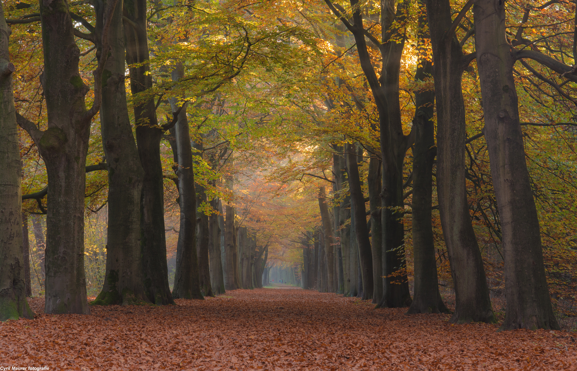 De Herfst in zijn kleur en pracht 2 - Ik kwam terug van een dag werken in de sportschool uit Hilversum. En ik keek rechts van me waar ik altijd net voor ik thuis ben door het bos rij en i - foto door sipmaurer op 01-11-2015 - deze foto bevat: bladeren, herfst, landschap, schaduw, bos, bomen, kleurijk, natten boomstammen