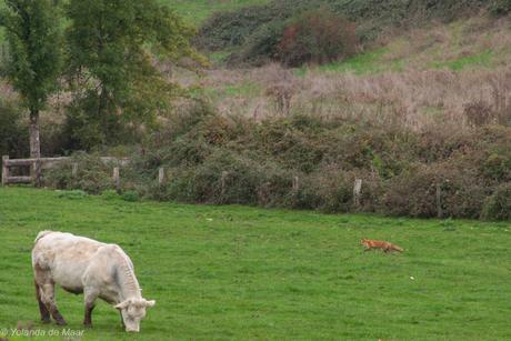 Aparte combi vos en koe in de wei