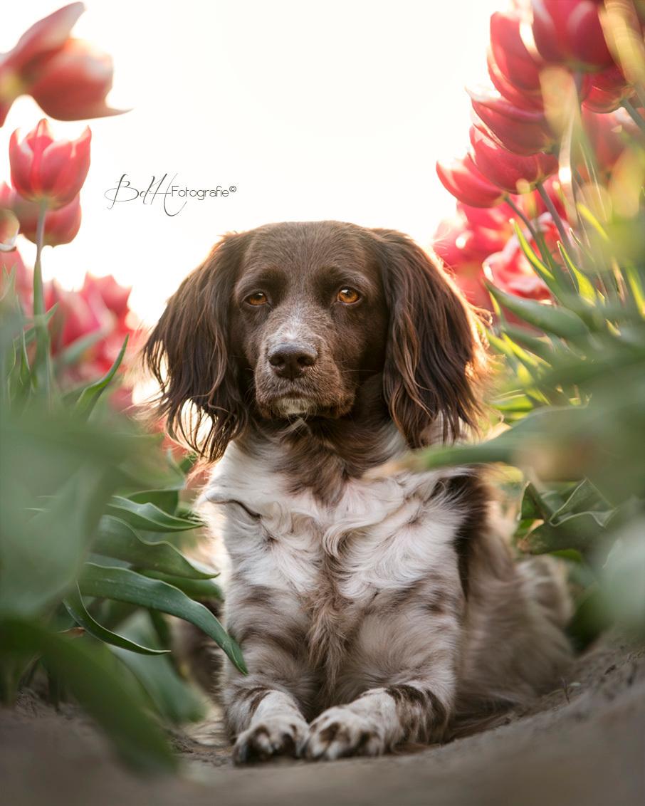 Tussen de Tulpen - Alleen maar liefde voor mijn lieve hondenkind. 'Ga je mee foto's maken?' En ze staat al bij de deur. Tussen de tulpen 'vooruit' sturen en daar gaat - foto door BiancadH op 24-04-2020 - deze foto bevat: rood, tulpen, tulp, zonsondergang, dieren, huisdier, hond, tegenlicht, zonlicht, bollenvelden, polder, poseren, scherptediepte, jachthond, heidewachtel, hondenfotografie, kleine munsterlander, gouden uur, hondenfotograaf