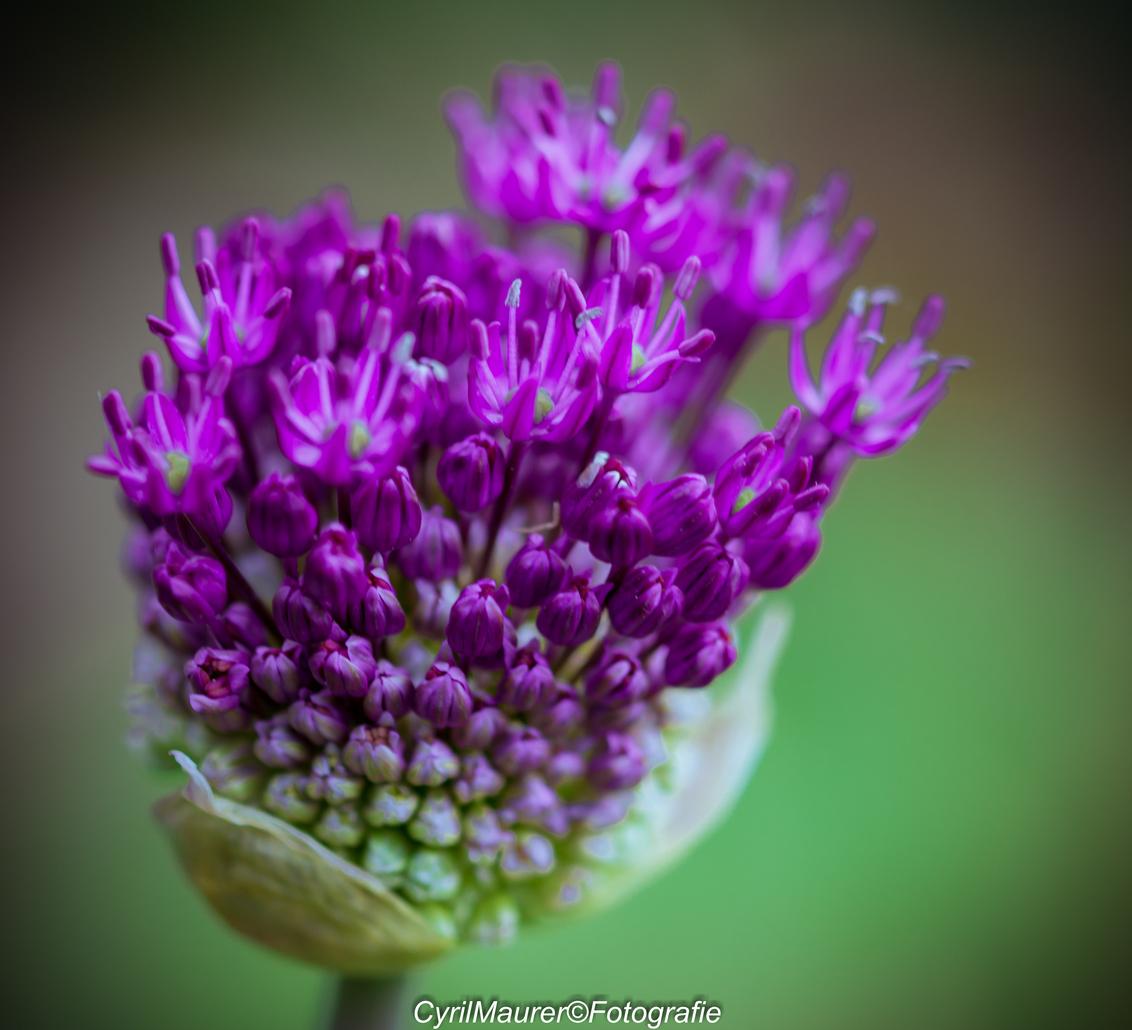 Purple Beauty - nog een uit de zoomdag met Jeanet - foto door sipmaurer op 19-06-2016 - deze foto bevat: groen, paars, macro, bloem, lente, natuur, zoomdag, dof, vignette