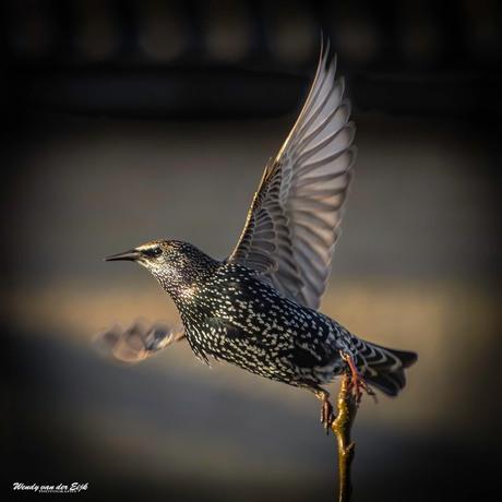 Wegvliegende spreeuw
