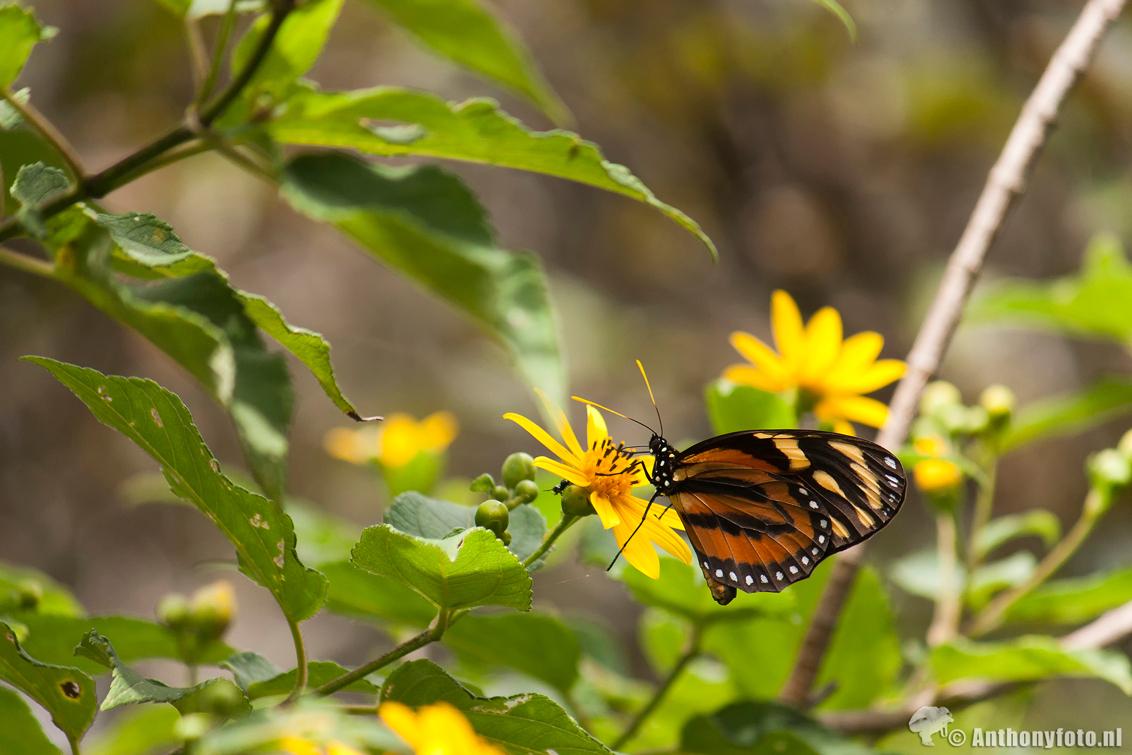 Butterfly - Vlinder in Costa Rica. - foto door atijssen83 op 31-10-2013 - deze foto bevat: groen, kleur, bloem, natuur, vlinder, geel, butterfly, costa, rica