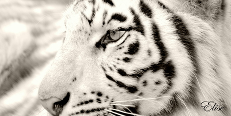 white tiger eye
