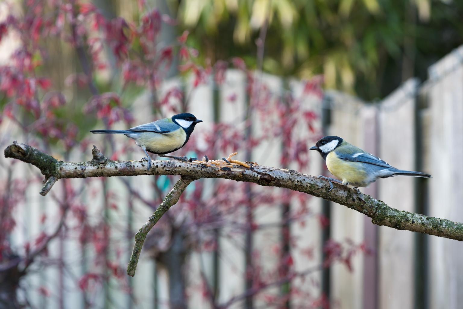 Two of a kind - Koolmeesjes gezellig aan het lunchen. - foto door Kompieter op 16-04-2021 - deze foto bevat: vogel, gewervelde, fabriek, bek, afdeling, takje, boom, organisme, ochtend, aanpassing