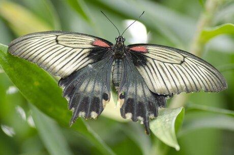 Nog zo'n mooie vlinder!