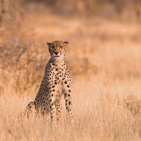 Cheetah nr. 4