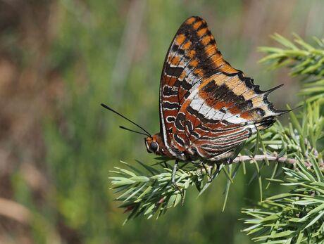 Jasius vlinder