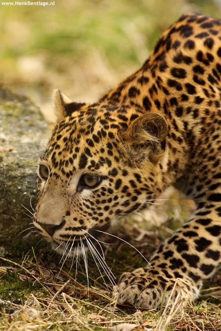 Kleine jager - De kleine luipaard uit de Dierentuin Emmen is al een echte kleine jager. - foto door wwwHenkBentlagepuntnl op 30-05-2010 - deze foto bevat: klein, dier, luipaard, jager