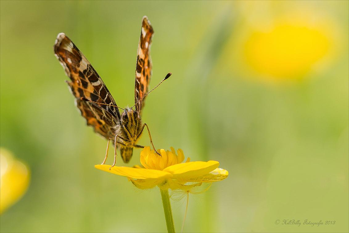 Landkaartje - Ik heb op een veldje hier in de buurt twee hele geduldige modellen , een oud en een nieuw Landkaartje . Hier één van de nieuwe . gelukkig beginnen  - foto door hilly1945billy op 07-06-2013 - deze foto bevat: macro, bloem, natuur, boterbloem, vlinder, landkaartje, hilly1945billy