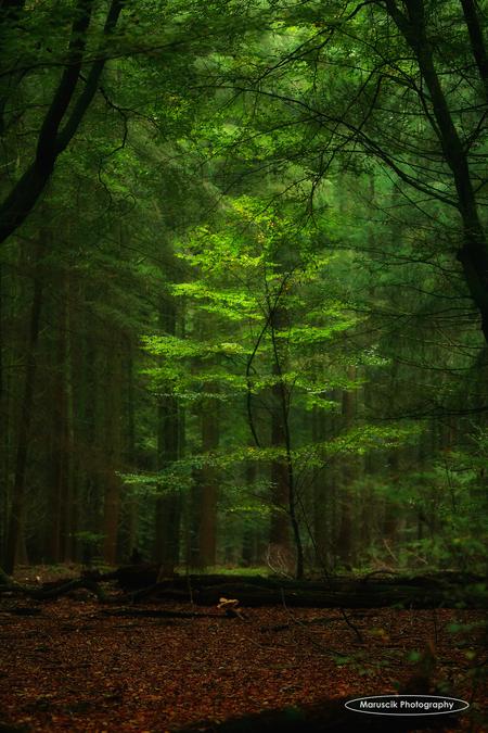 Sprankje licht - Omgeving Garderen Oktober 2016 - foto door MichaelJohn op 30-10-2016 - deze foto bevat: groen, boom, natuur, herfst, vakantie, bos, nederland, garderen, hoge veluwe, maruscik photography