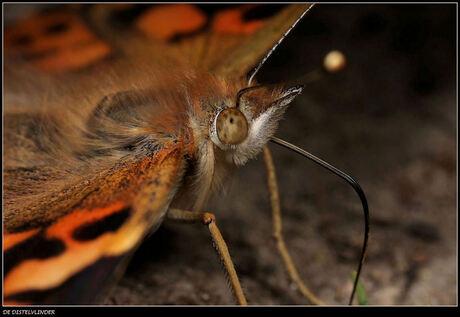 De Distelvlinder (met zijn héél mooi zichtbare en helemaal uitgerolde roltong) van hééééél dichtbij (2).