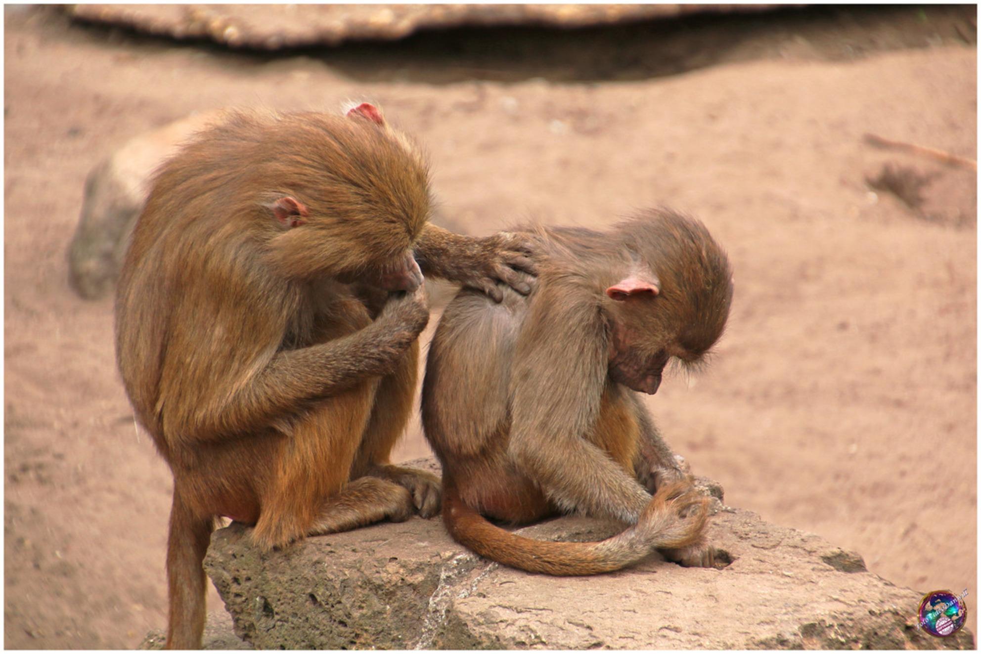 Mmm, hier zit wat ... - - - foto door willemdanker op 12-01-2019 - deze foto bevat: dierentuin, aap, amersfoort, vlooien