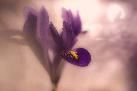 Pretty little Purple