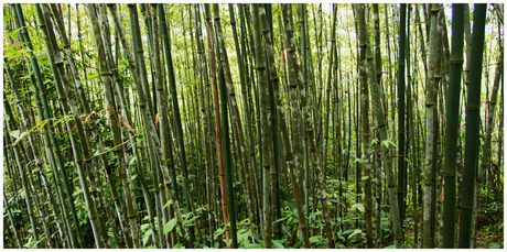 Sapa Vietnam 2013 bamboo