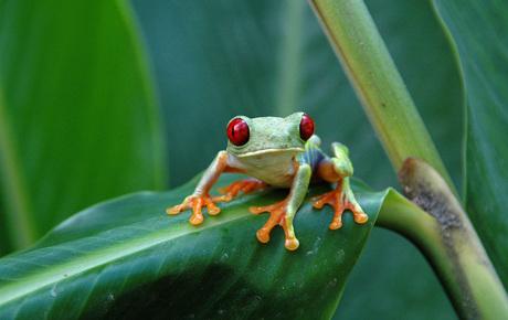 Gaufy leaf frog