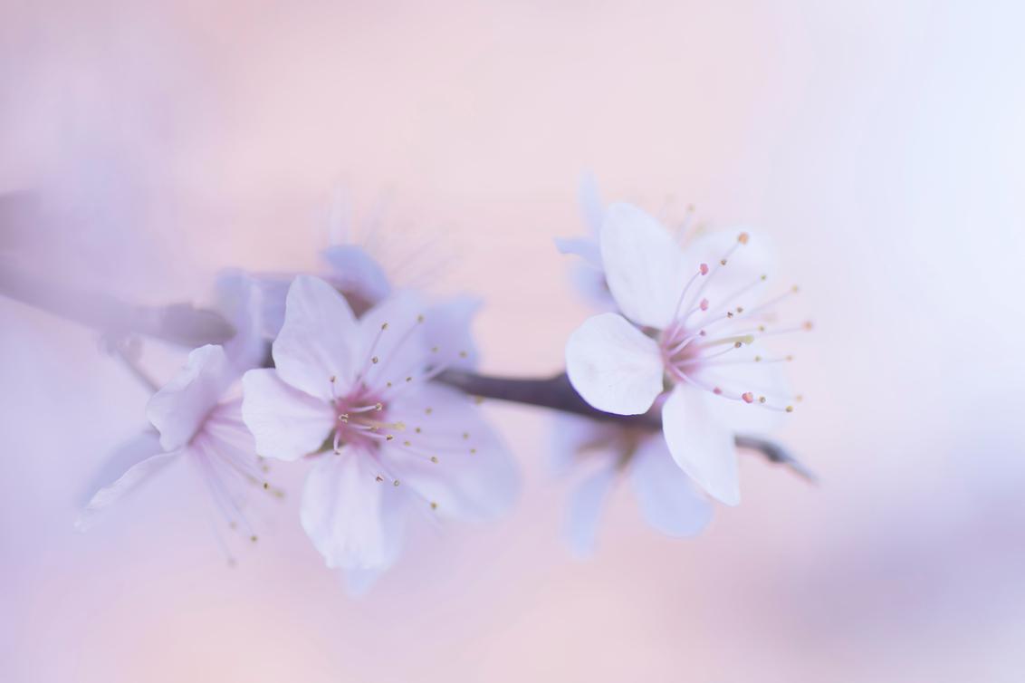 Sweet springtime - De eerste bloesems aan de bomen. Dat geeft gelijk het lentegevoel. - foto door birgitte61 op 20-04-2020 - deze foto bevat: roze, macro, bloem, lente, natuur, licht, bloesem, dof